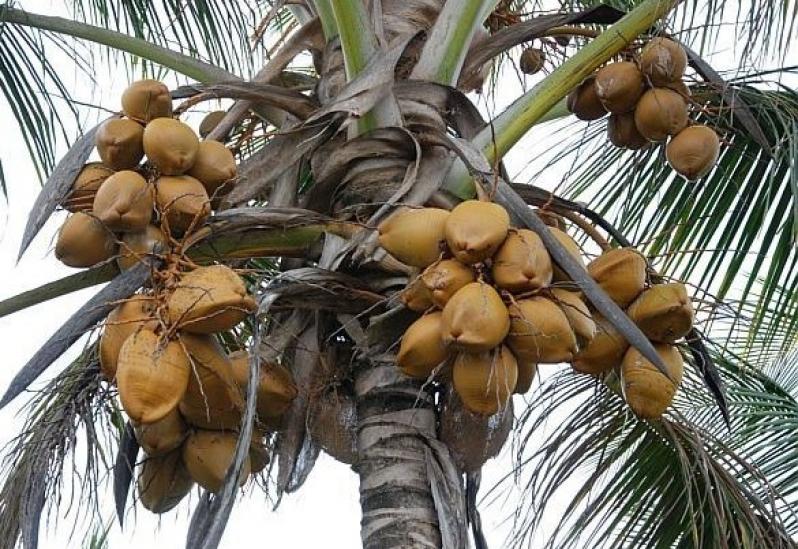 Empresa Que Faz Análise Foliar do Coqueiro Abadiânia - Análise Foliar do Coqueiro