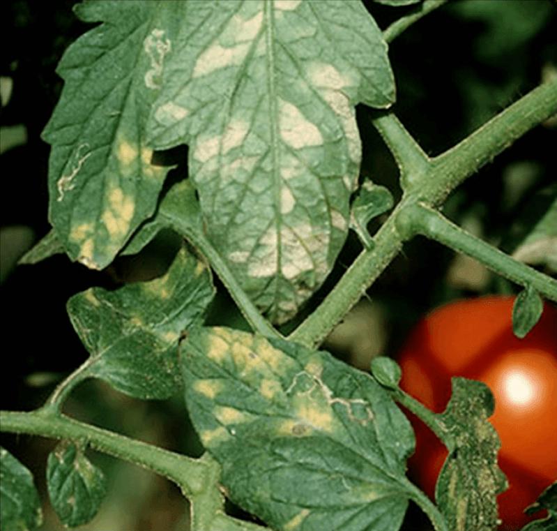 Serviço de Análise Foliar Batata Bahia - Análise Foliar do Mamoeiro