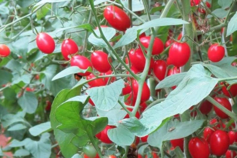 Serviço de Análise Foliar de Tomateiro Juazeiro - Análise Foliar do Mamoeiro
