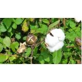 análise foliar algodão Petrolina
