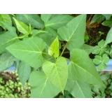 análise foliar batata Mambaí