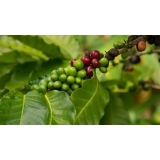 análise foliar cafe Pirenópolis