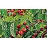 análise foliar de cafe Corrente