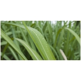 análise foliar em cana de açúcar Riachão