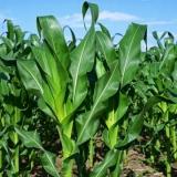análise foliar milho Arraias