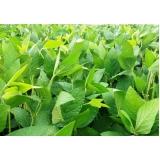 análise foliar soja São Desidério