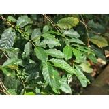 análise foliar café