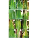 análise foliar milho
