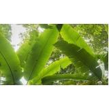 análises foliar banana Salgueiro
