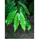 análises foliar cafe Santa Rosa do Tocantins.