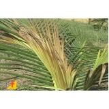 análises foliar do coqueiro Bahia