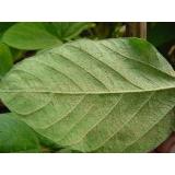 análises foliar soja São Desidério