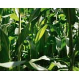 empresa de análise foliar milho Rialma