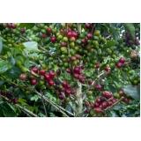 empresa para análise foliar cafe Araguari