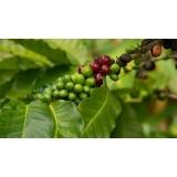 empresa para análise foliar cafeeiro Santa Rita de Cassia