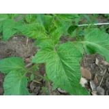 empresa que faz análise foliar de tomateiro Santa Rita de Cassia