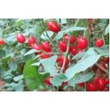 serviço de análise foliar de tomateiro Posse