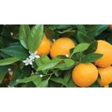 serviço de análise foliar laranja Tasso Fragoso